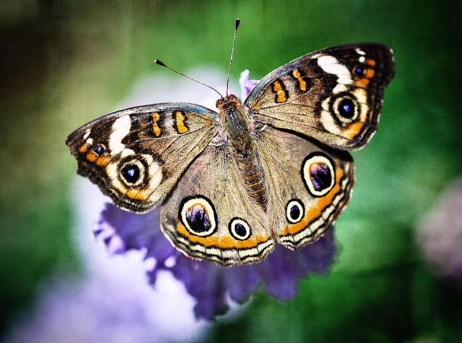 Arizona Photograph - Buckeye Butterfly  by Saija  Lehtonen