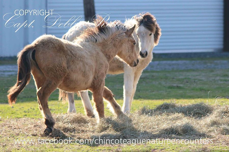 Foals Photograph - Buckskin Foals 2015 by Captain Debbie Ritter