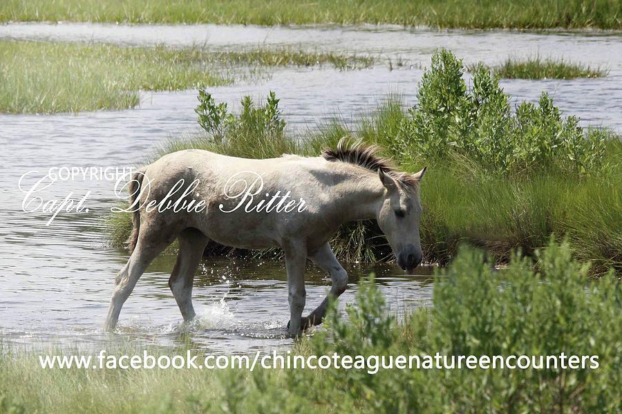 Foal Photograph - Buckskin Pinto Filly 2016 by Captain Debbie Ritter