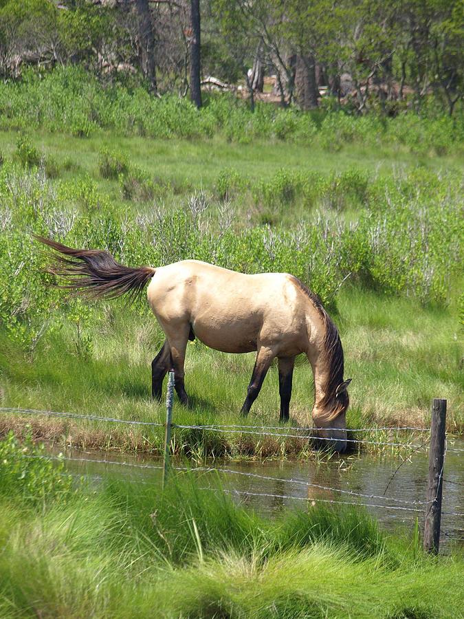 Buckskin Photograph - Buckskin Stallion by Kim
