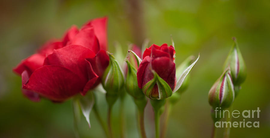 Bud Bloom Blossom Photograph by Mike Reid