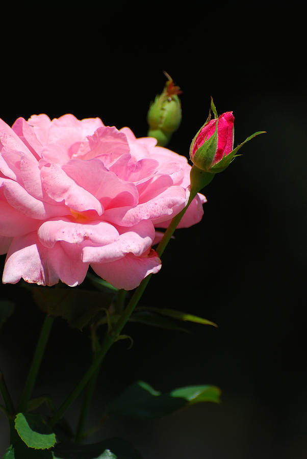 Pink Photograph - Bud of rose by Adrian Bud