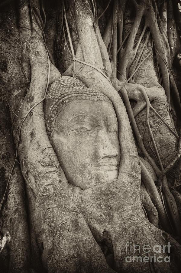 Buddha Photograph - Buddha Head In Tree by Fototrav Print