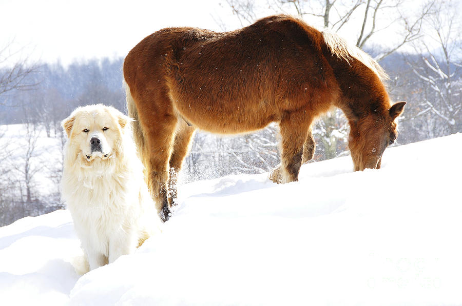 Great Pyrenees Photograph - Buddies by Thomas R Fletcher