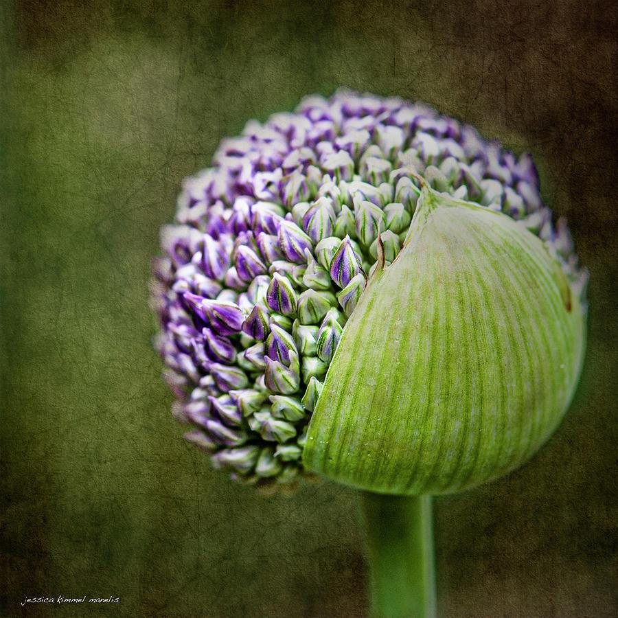 Purple Photograph - Budding Allium by Jessica Manelis