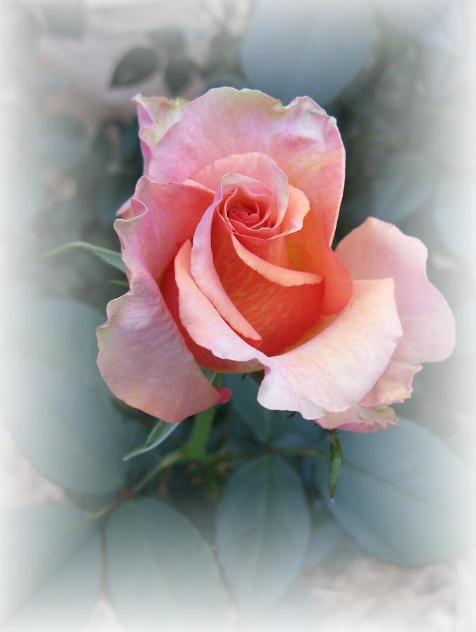 Rose Photograph - Budding Beauty by Carol Sweetwood