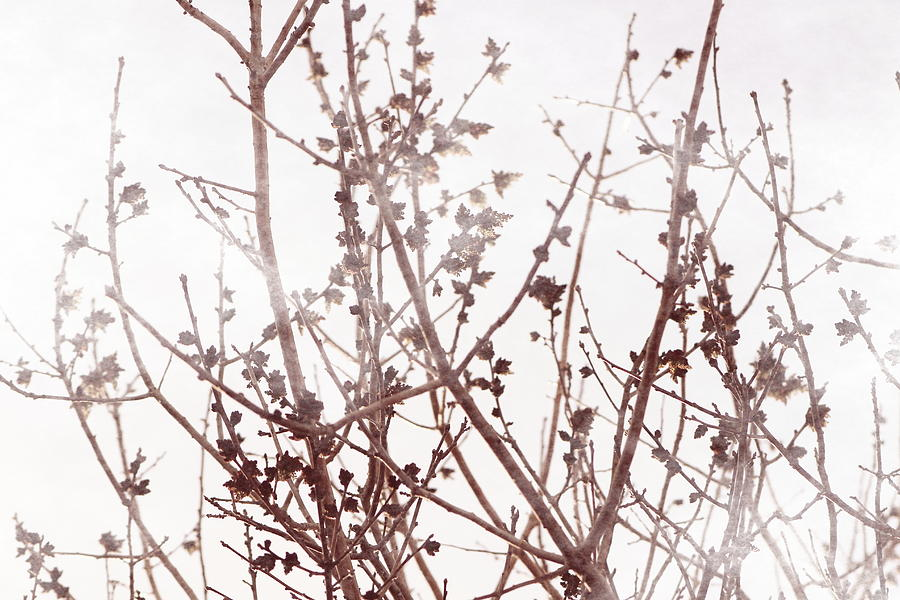 Rose Photograph - Budding Tree in Chateau Rose Misty Morning by Colleen Cornelius