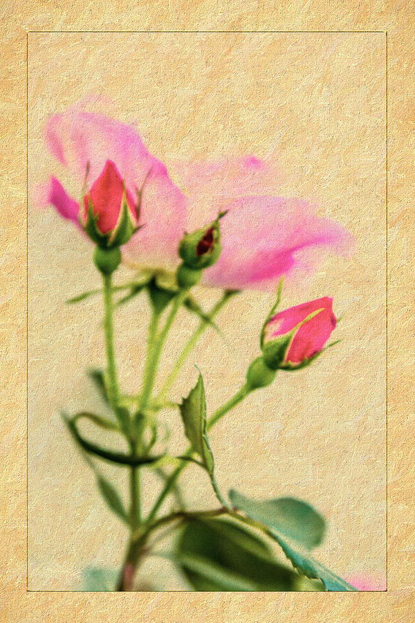 Rose Photograph - Buds And Bloom - Rose Floral by Barry Jones