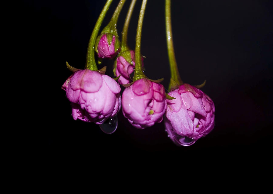 Flower Photograph - Buds by Svetlana Sewell