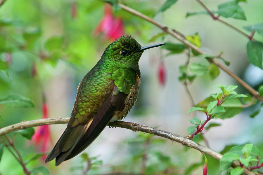 Hummingbird Photograph - Buff-tailed Coronet by Cascade Colors