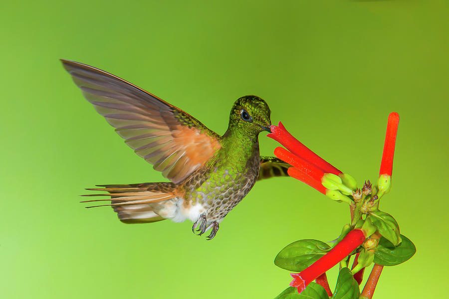 Buff-tailed Coronet  by Jim Frandeen