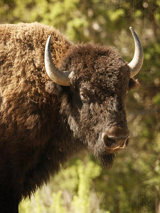 Buffalo Photograph - Buffalo Cow by Charles McKelroy