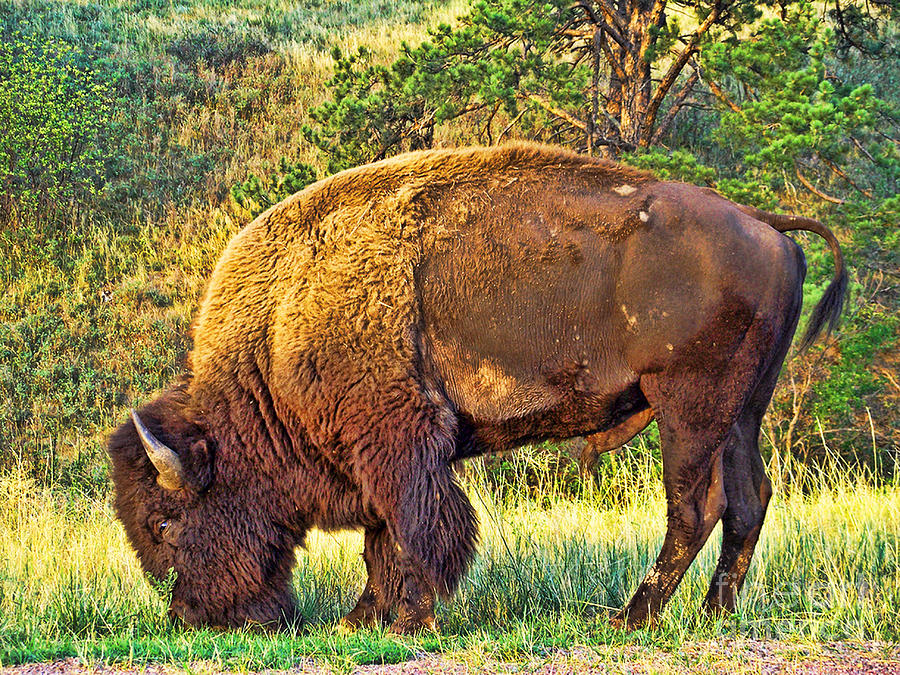 Custer State Park Photograph - Buffalo Custer State Park  by Tommy Anderson