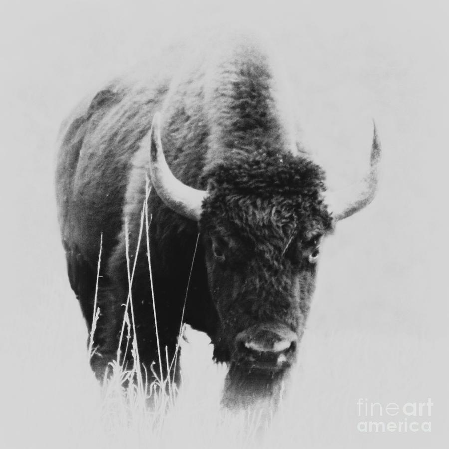 Buffalo Photograph - Buffalo Gal by Barbara Henry