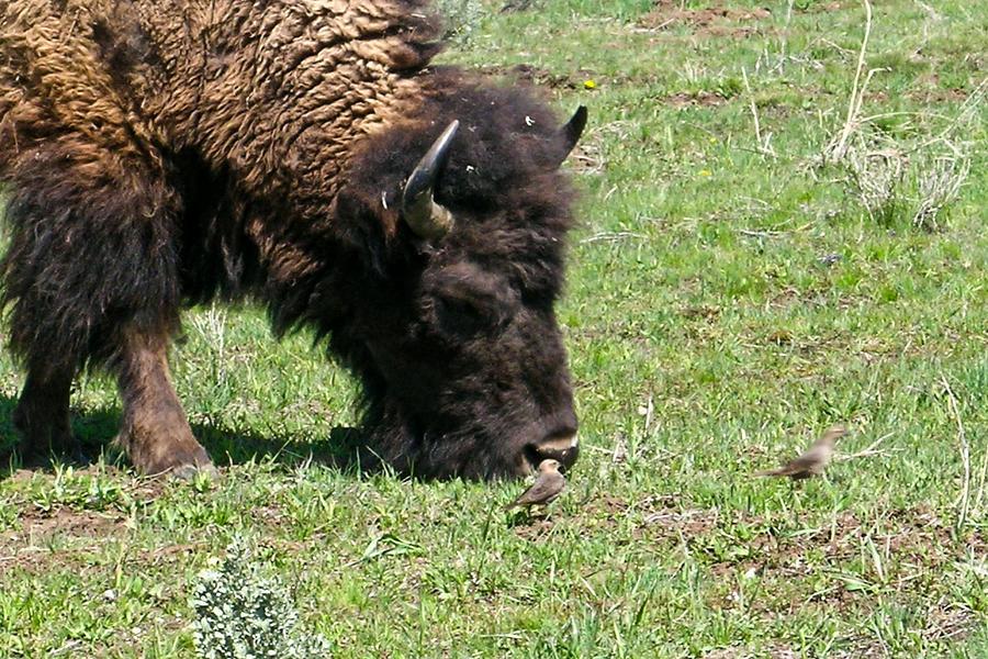 Buffalo Photograph - Buffalo Grazing by Douglas Barnett