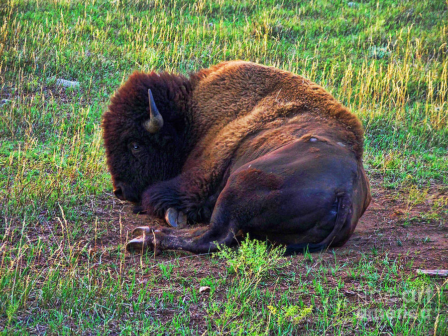 Buffalo Photograph - Buffalo In The Badlands by Tommy Anderson