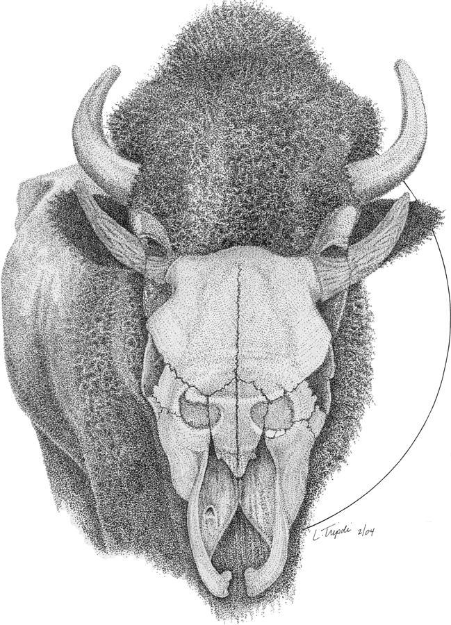 Animal Drawing - Buffalo by Lawrence Tripoli