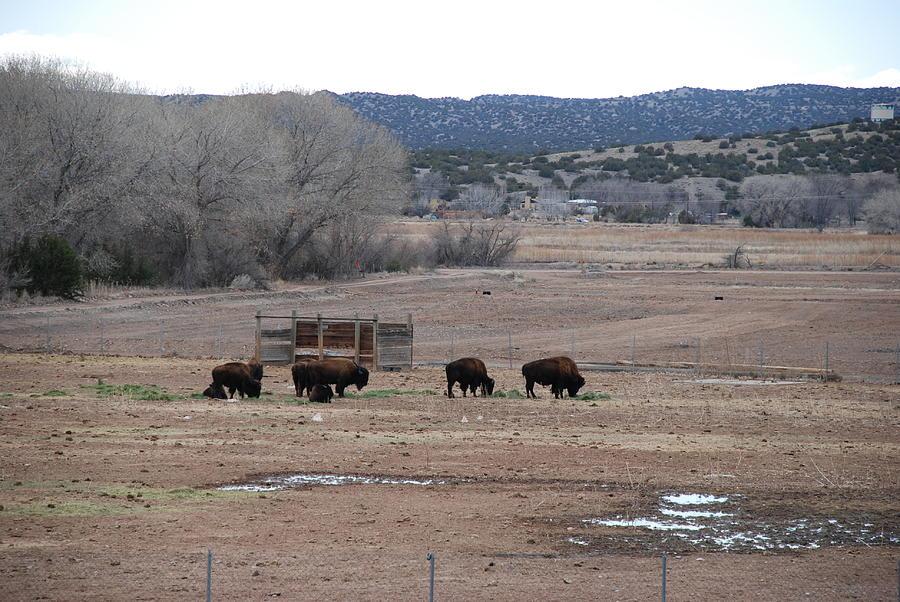 Buffalo Photograph - Buffalo New Mexico by Rob Hans