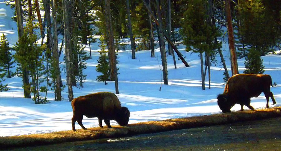 Buffalo Roam in Winter by C Sitton