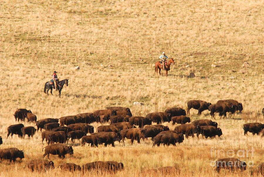 Utah Photograph - Buffalo Roundup by Dennis Hammer