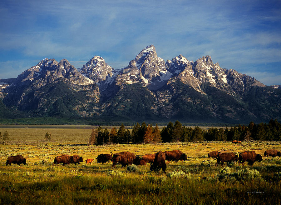 Buffalo under Tetons by Leland D Howard