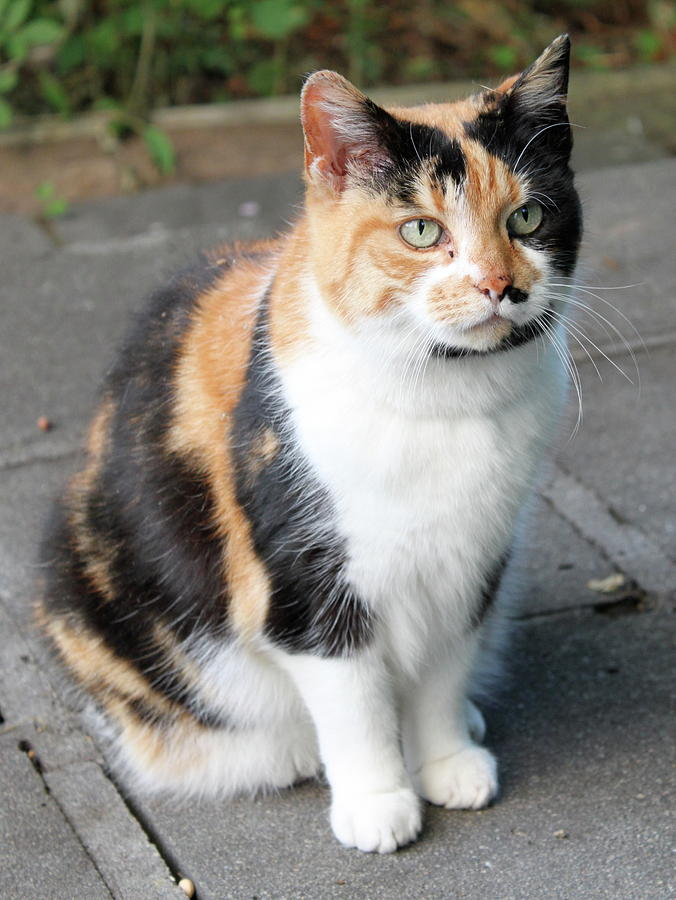 Cat Photograph - Buffia by Lauren Serene