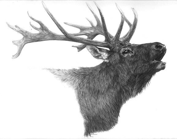 Bugling Elk Drawing By Suzanne Reh Faraca