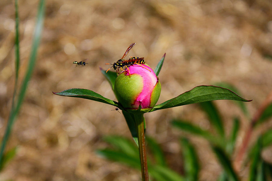 Peony Photograph - Bugs Wanting The Same Flower by Goldie Pierce