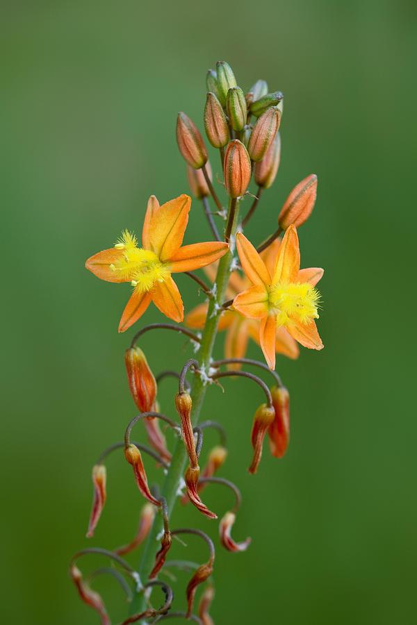 Flower Photograph - Bulbine Frutescens by Yuri Peress