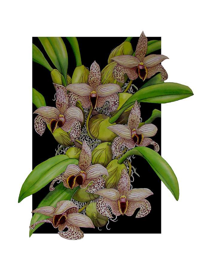 Orchids Painting - Bulbophyllum Sumatranum by Darren James Sturrock
