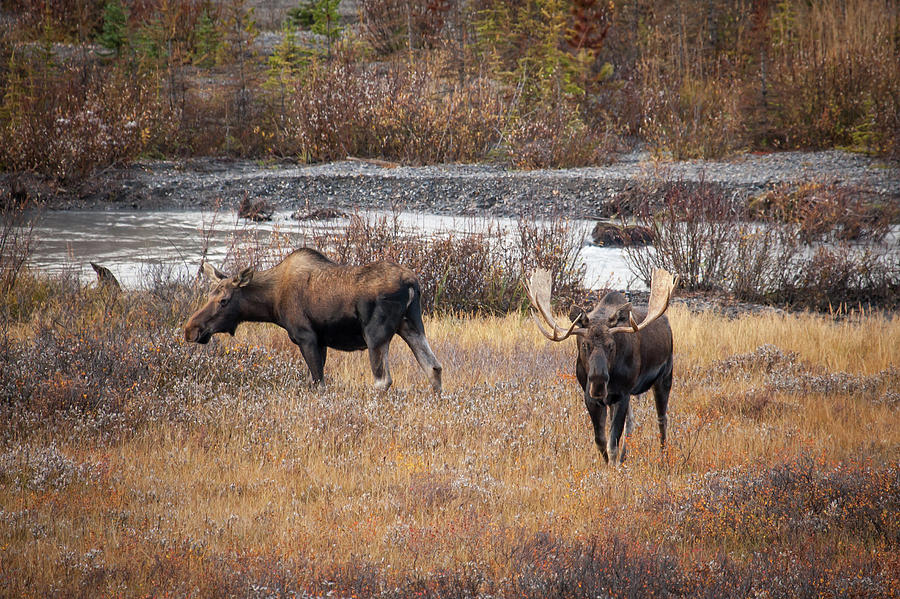 Bull and Cow Moose by Ward Cameron