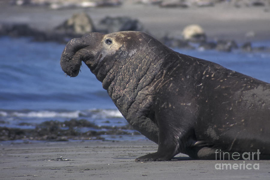 California Photograph - Bull Elephant Seal by Stan and Anne Foster