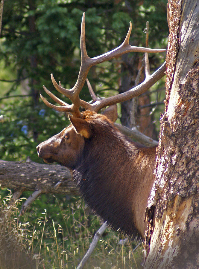 Elk Photograph - Bull Elk 2 by Heather Coen