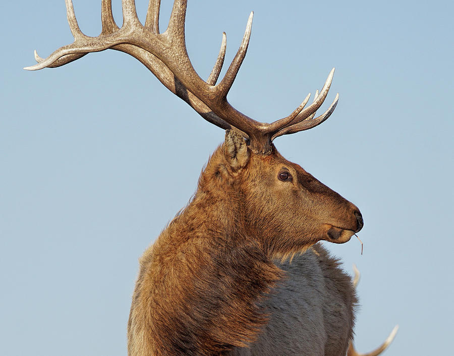 Bull Elk by Alan Hutchins