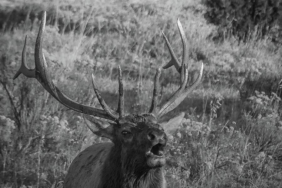 Elk Photograph - Bull Elk Bugling by Joe Hudspeth