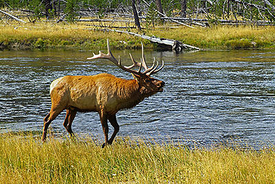 Wildlife Photograph - Bull Elk by Gene Mace