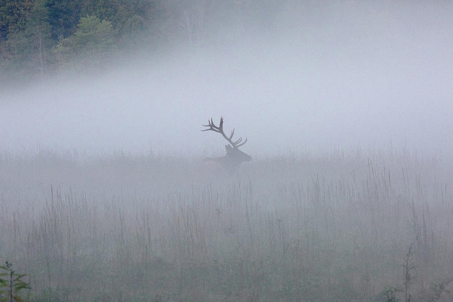 Bull Elk in Fog - September 30, 2016 by D K Wall