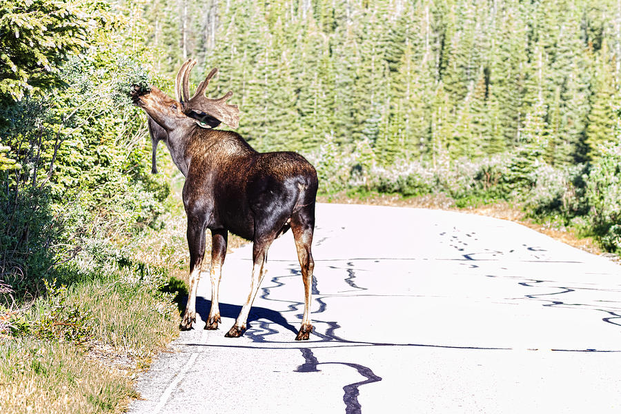 Bull Moose Munching In The Road Photograph