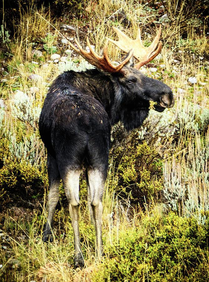 Bull Moose Photograph - Bull Moose by Norman Hall