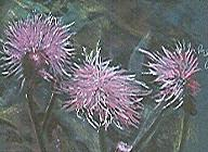 Pastel Painting - Bull Thistles In Bloom by Rick Citta
