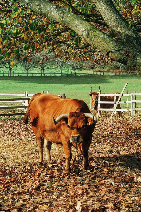 Bull Photograph - Bull by Yan Motta