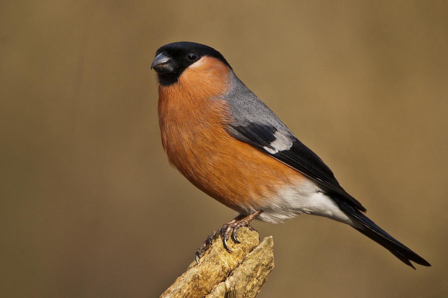 Yorkshire Photograph - Bullfinch by Andy Beattie Photography