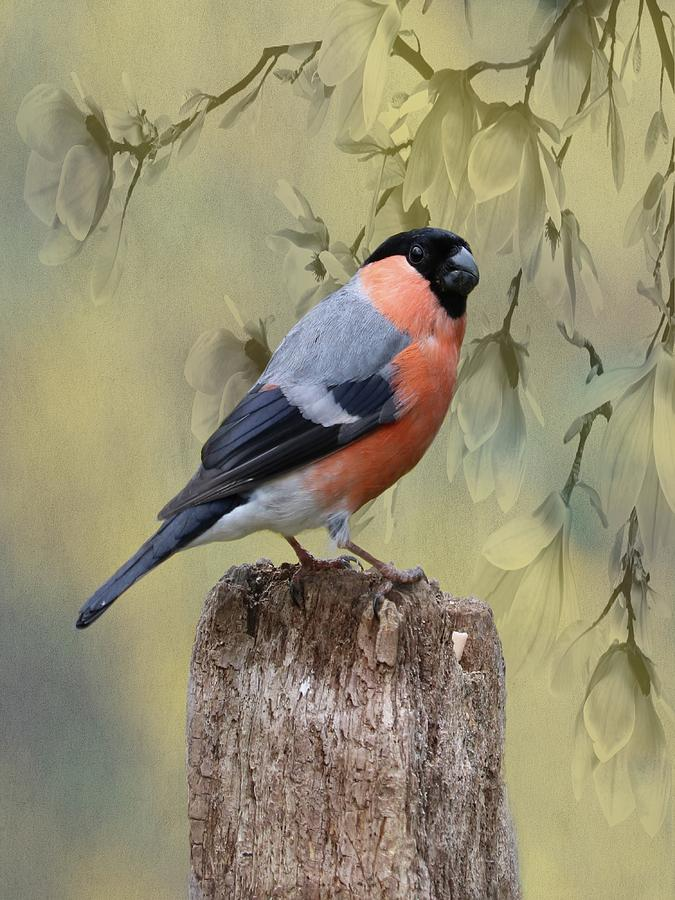 Bullfinch Bird by Movie Poster Prints