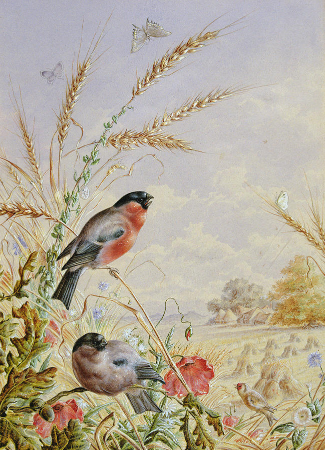 Bullfinch Painting - Bullfinches In A Harvest Field by Harry Bright