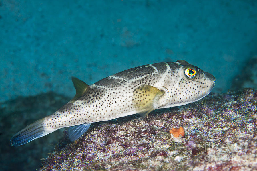 Archipelago Photograph - Bullseye Puffer - Galapagos by Dave Fleetham - Printscapes