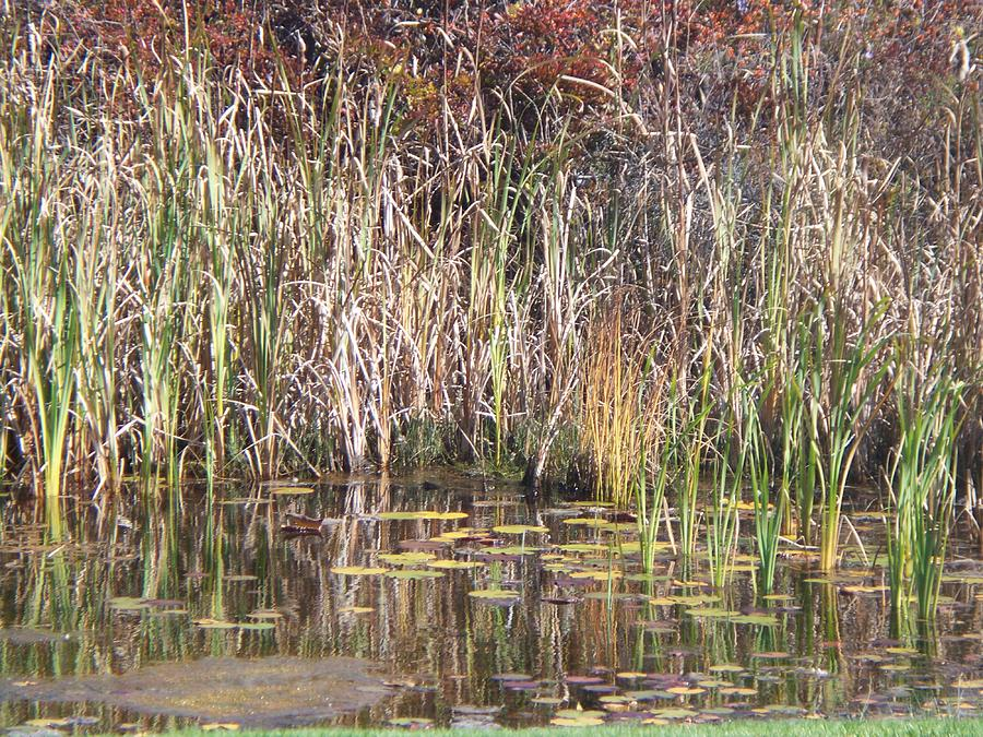 Bulrushes Photograph - Bulrushes  by Rosanne Bartlett