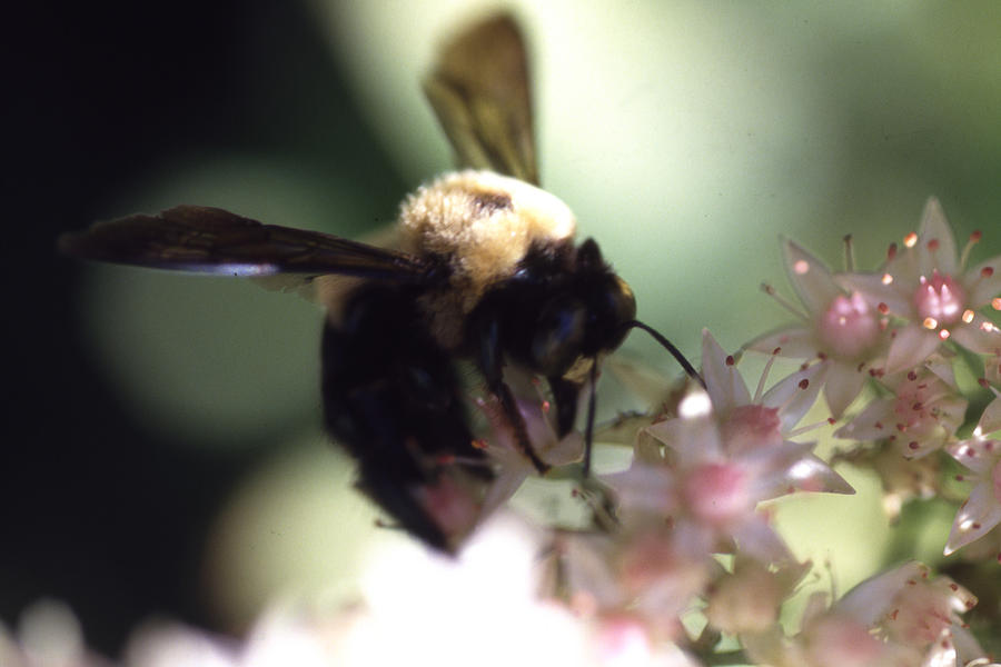 Bumblbee Bzzz Photograph by Curtis J Neeley Jr