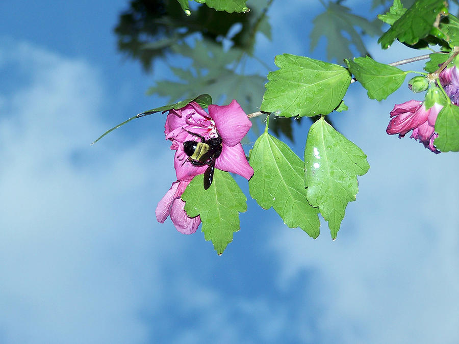 Insect Photograph - Bumble Bee 2 by Evelyn Patrick