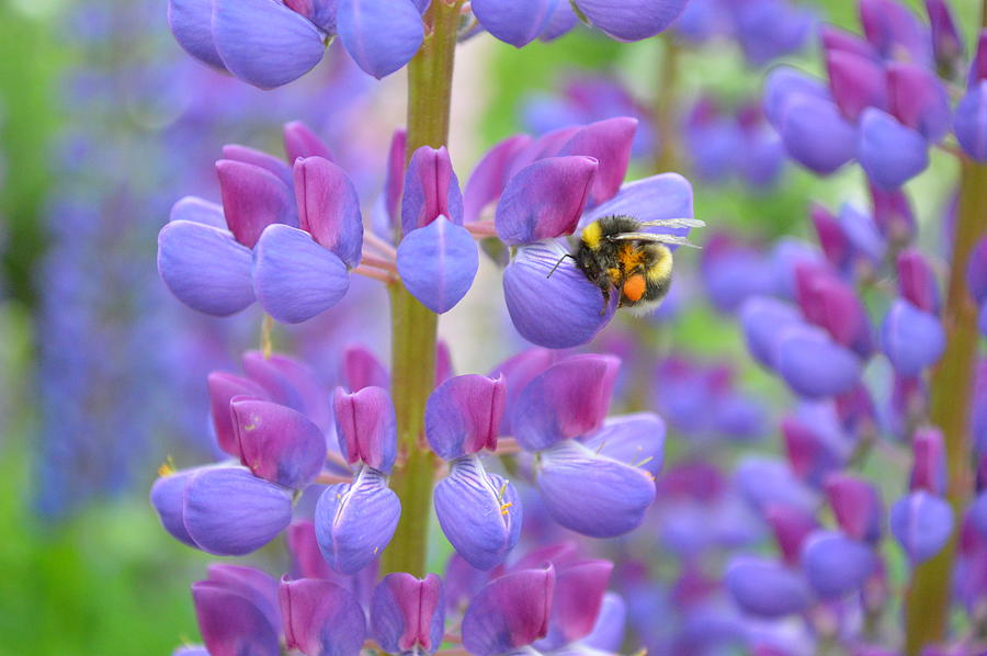Bumble Bee And Lupines Photograph by Emma Arvestad