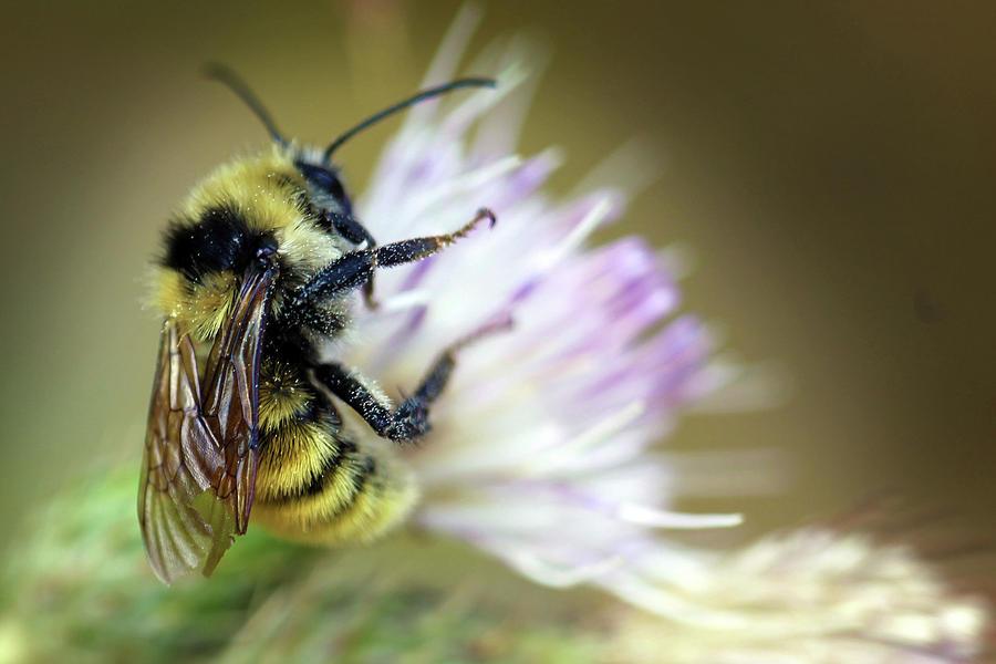 Bumble Bee Photograph - Bumble Bee by Dan Pearce